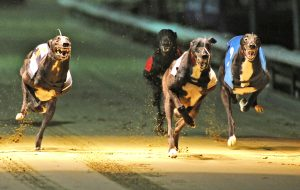 greyhound racing bet tips