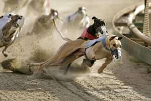 greyhounds racing bet